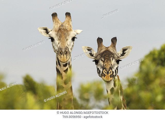 Couple of Northern giraffes. Giraffa camelopardalis. Kenia. Africa