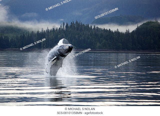 Humpback Whale Megaptera novaeangliae calf breaching in Hobart Bay, Southeast Alaska, USA Pacific Ocean