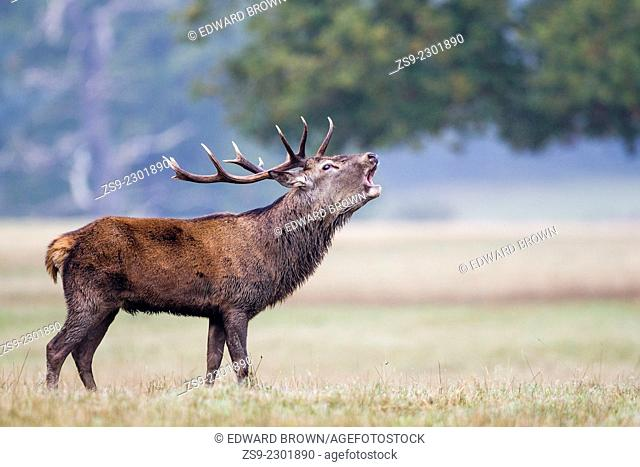 Red deer stag (cervus elaphus) bellowing/bolving during the annual rut, Windsor Great Park, Berkshire,England,UK