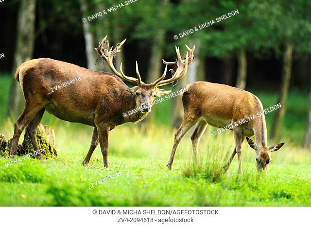 Close-up of a red deer (Cervus elaphus) male standing beside a female on a meadow