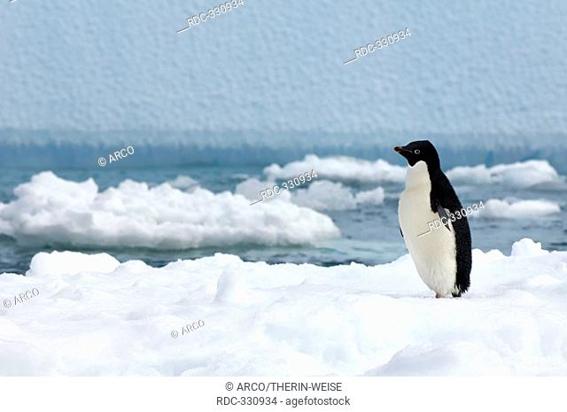Adelie Penguin on icefloe, Paulet Island, Erebus and Terror Gulf, Antarctic peninsula / Pygoscelis adeliae / side