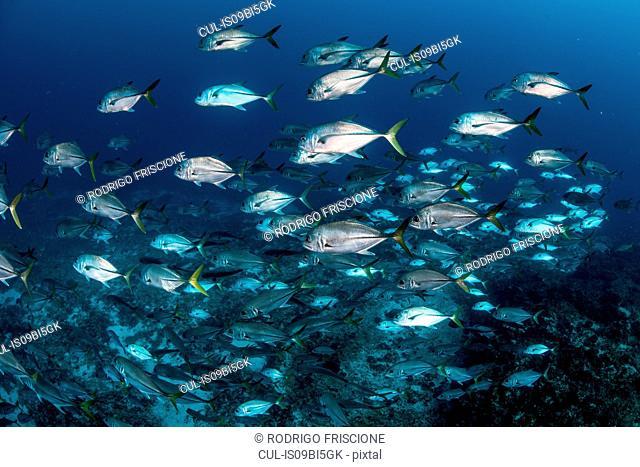 Schooling Bigeye jacks around reef structure, Puerto Morelos, Quintana Roo, Mexico