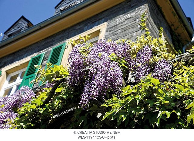 Germany, Rhineland-Palatinate, Bernkastel-Kues, Building with Chinese wisteria Wisteria sinensis in bloom, low angle view