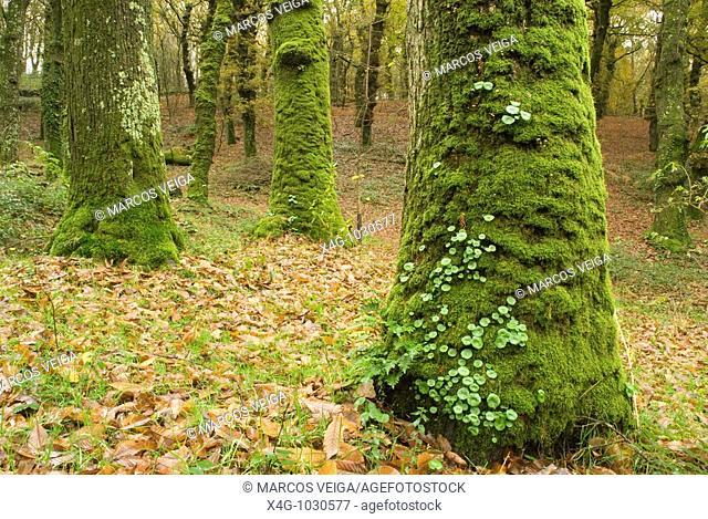 Bosque conocido como Fraga de Catasós, monumento natural donde se pueden ver los castaños más altos de Europa  Catasos forest