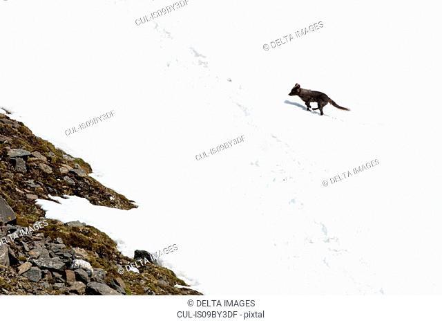 Blue arctic fox moving up snow covered hillside, Alopex lagopus, Hornsund bay, Spitsbergen, Svalbard, Norway