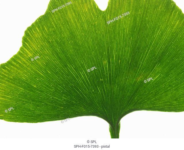Leaf from the Maidenhair (Ginkgo biloba) tree, studio shot