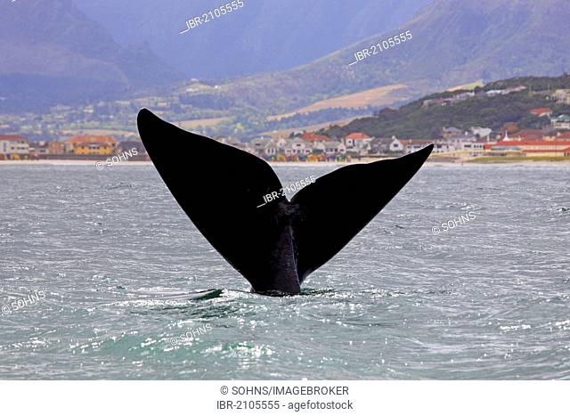 Fluke, Southern Right Whale (Balaena glacialis), adult, Simon's Town, South Africa, Africa