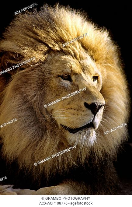 Male African Lion, Panthera leo, portrait