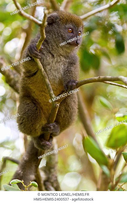 Madagascar, East, Andasibe Mantadia National Park, golden bamboo lemur (Hapalemur aureus)