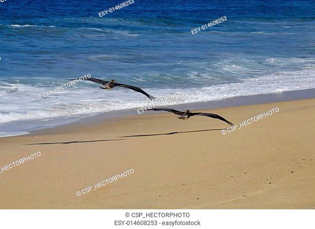 Pelicanos en la playa