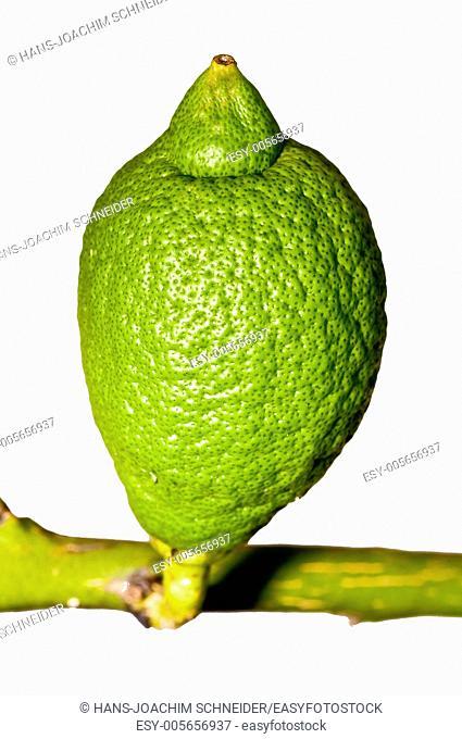 unripe citron at a tree
