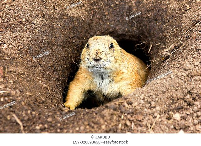 A marmot is curious looking from its hole