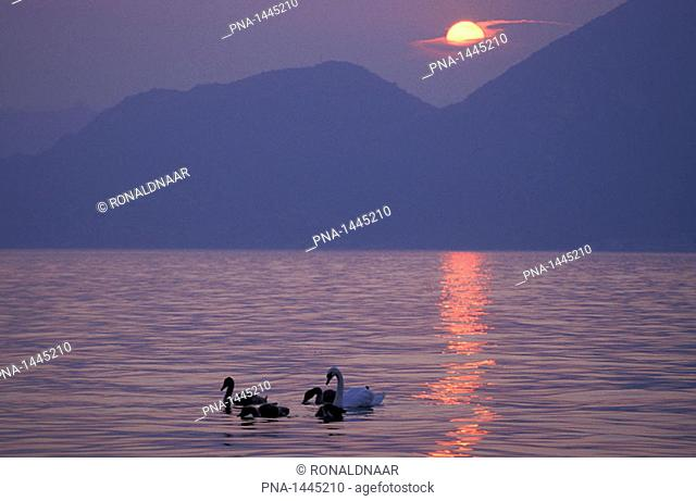 Swans with sunset over Lago d'Iseo, a lake in Lombardy, Northern Italy