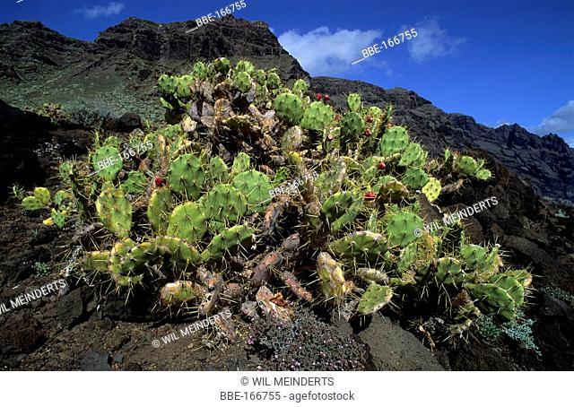 Indian Fig Opuntia in the mountains of Punta de Teno on Tenerife