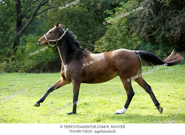 galloping Brandenburg Horse