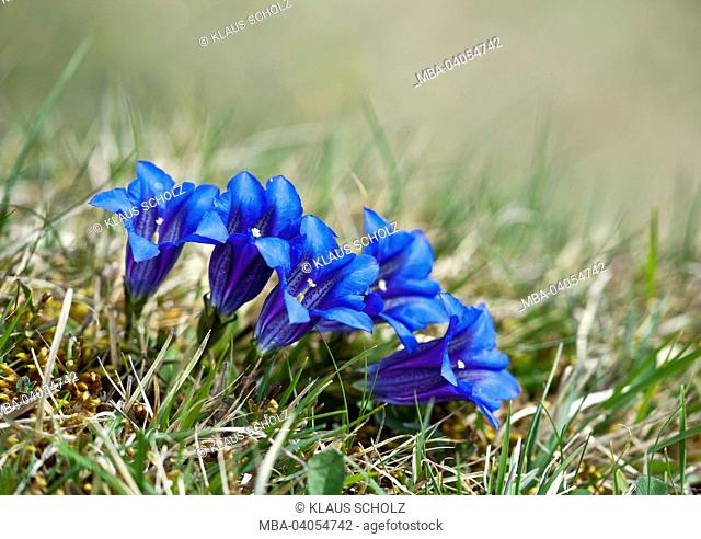 Group of gentian blossoms