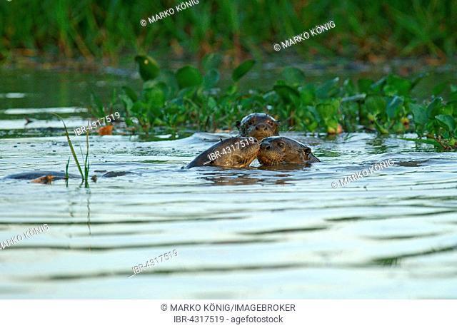 Giant otters (Pteronura brasiliensis) in water, Pantanal, Mato Grosso, Braslien
