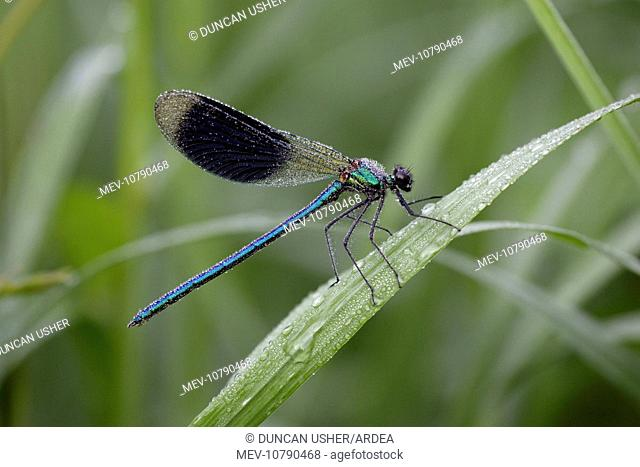 Banded Demoiselle Damselfly - male covered with dew (Calopteryx splendens)