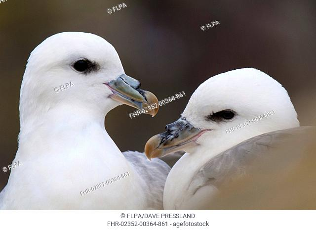 Northern Fulmar (Fulmarus glacialis) adult pair, close-up of heads, roosting together on rocks, Staple Island, Farne Islands, Northumberland, England, June