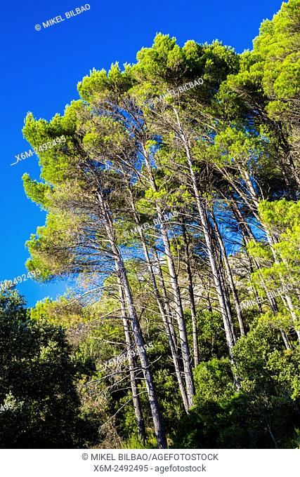 Pine trees. Tierra Estella county. Navarre, Spain, Europe