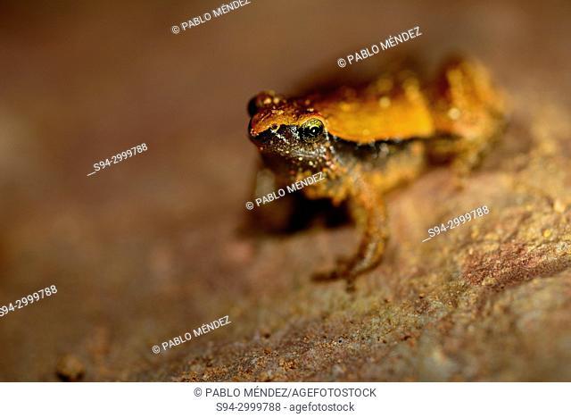 Dark sided chorus frog (Microhyla heymonsi) close to a pond in Kep, Cambodia