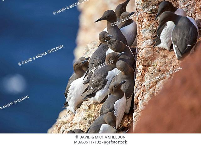 Murres, Uria aalge, rock, side view, sitting, brooding, Helgoland