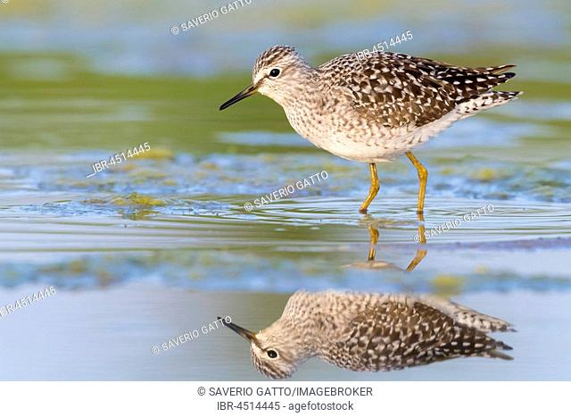 Wood Sandpiper (Tringa glareola), adult standing in a swamp, Campania, Italy