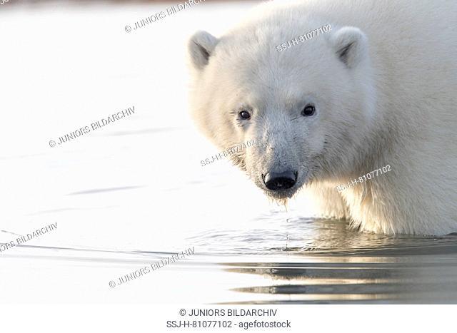 Polar Bear (Ursus maritimus, Thalarctos maritimus) standing in shallow water. Kaktovik, Alaska. Every fall polar bears gather near Kaktovik on the northern edge...