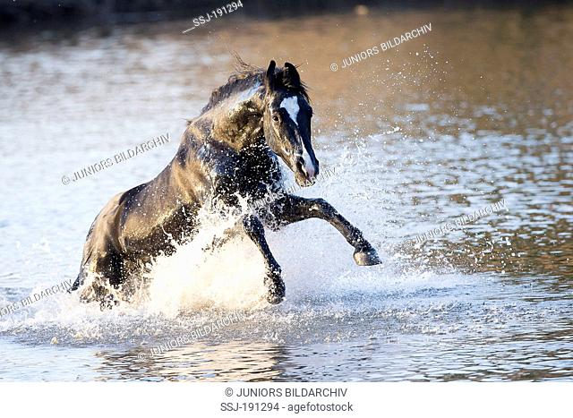 Marwari Horse. Black stallion galloping in water. India