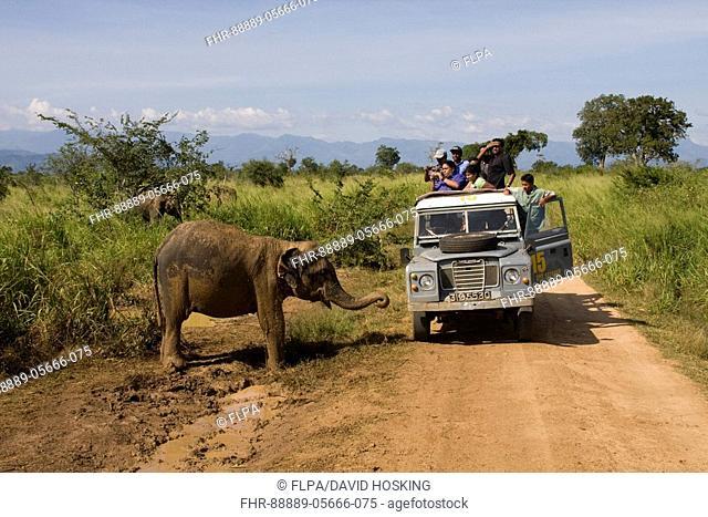 Watching Asian Elephant at Udawalawe National Park, Sri Lanka
