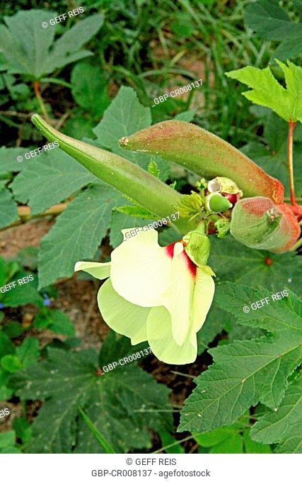 Hibiscus, Flowers, Guarabira, Paraiba, Brazil