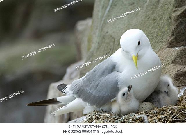 Kittiwake Rissa tridactyla adult, at nest on cliff ledge, egg and chicks in nest, Farne Islands, Northumberland, England, june