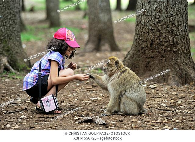 children and Barbary Macaque, Atlas cedar forest, near Azrou, Middle Atlas, Morocco, North Africa