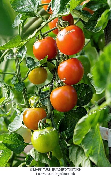 'Sweet Million' Cherry Tomatoes (Lycopersicon lycopersicum 'Sweet Million'). McClendon, Bellingham, WA