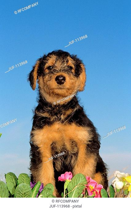 Airedale Terrier puppy - sitting - frontal