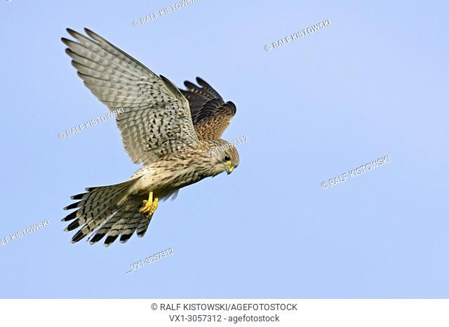 Female Kestrel ( Falco tinnunculus ) hovering at clear blue sky, wildlife, Europe