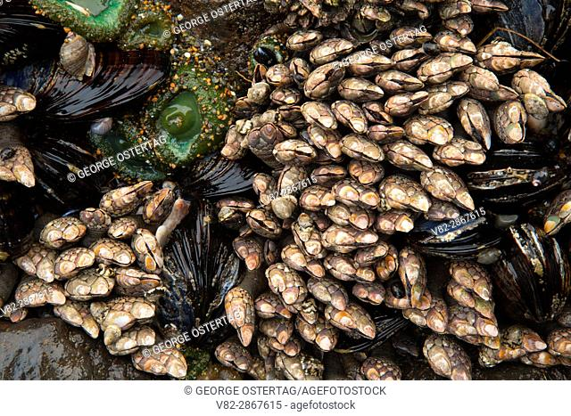Gooseneck barnacles with mussels, Yachats State Park, Oregon