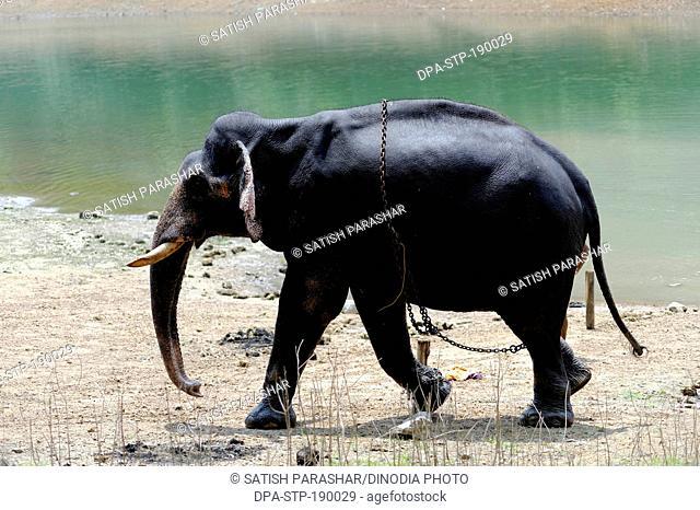 Elephant kappukadu Kerala India Asia