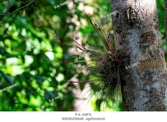 Bartram's Airplant (Tillandsia bartramii), flowering, USA, Florida, Kissimmee