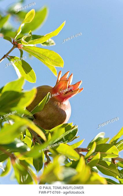 Greece, Growing fruit of Pomegranate amongst green leaves against blue sky