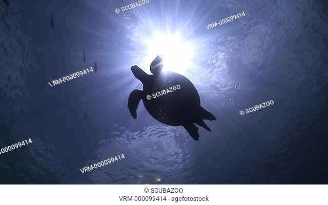 Hawksbill Turtle Eretmochelys imbricata silhouetted against sun at surface, Sipadan, Borneo