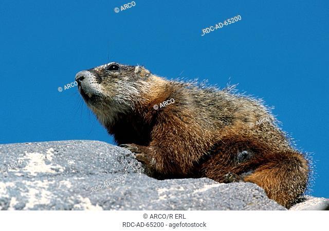 Yellow-bellied Marmot Grand Teton national park Wyoming USA Marmota flaviventris