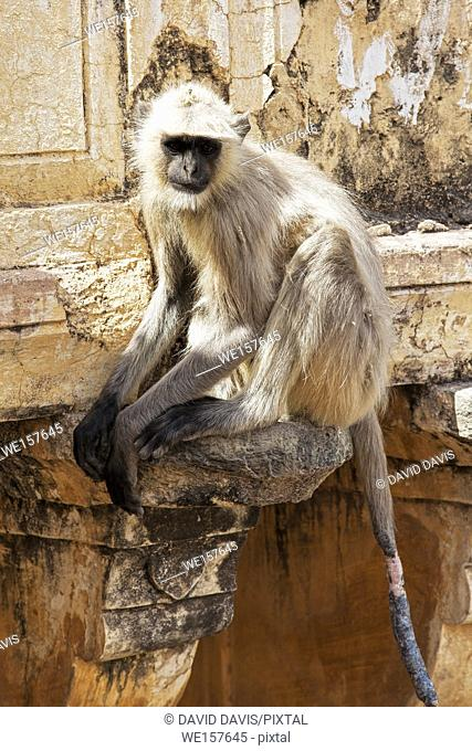 Gray Langur Monkey Presbytis entellus is regarded as sacred in Hinduism. Jodhpur Rajasthan India