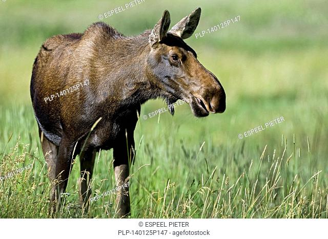 Moose (Alces alces) cow grazing in meadow, Rocky Mountain National Park, Colorado, USA