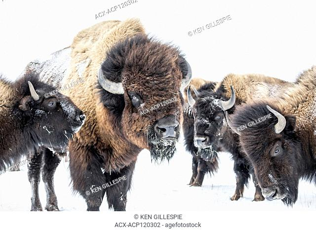 Plains Bison, Bison bison bison, in winter, Manitoba, Canada