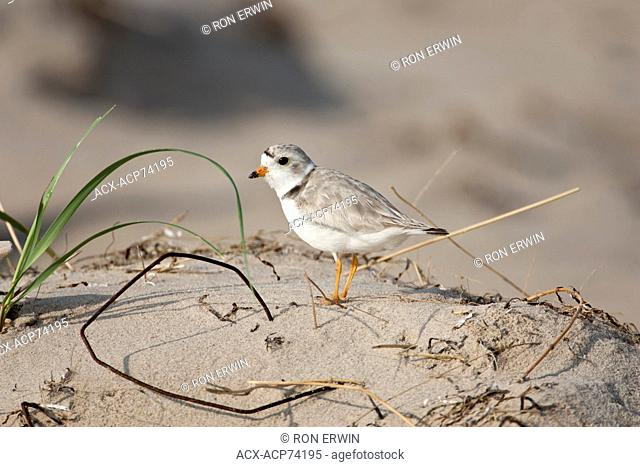 An endangered Piping Plover (Charadrius melodus melodus) on Iles de la Madeleine (Magdalen Islands), Quebec, Canada