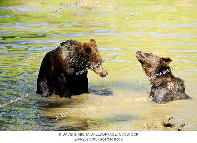 Close-up of two brown bear (Ursus arctos) youngsters in a little pond in the Bavarian Forest, Germany
