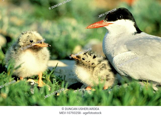 Arctic TERN - Parent bird with two chicks (Sterna paradisaea)