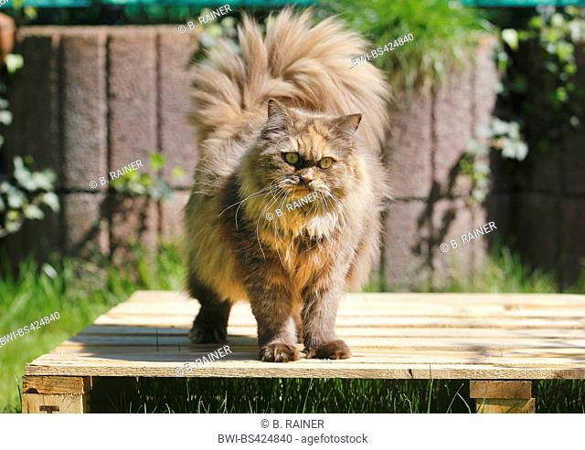 British Longhair, Highlander, Lowlander (Felis silvestris f. catus), three years old cat in colour chocolate tortie standing on a pallet, front view
