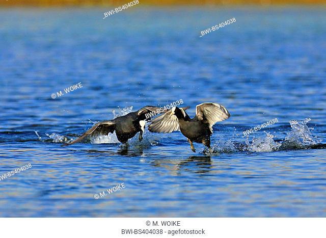 black coot (Fulica atra), swimming, territorial fight, Canary Islands, Fuerteventura